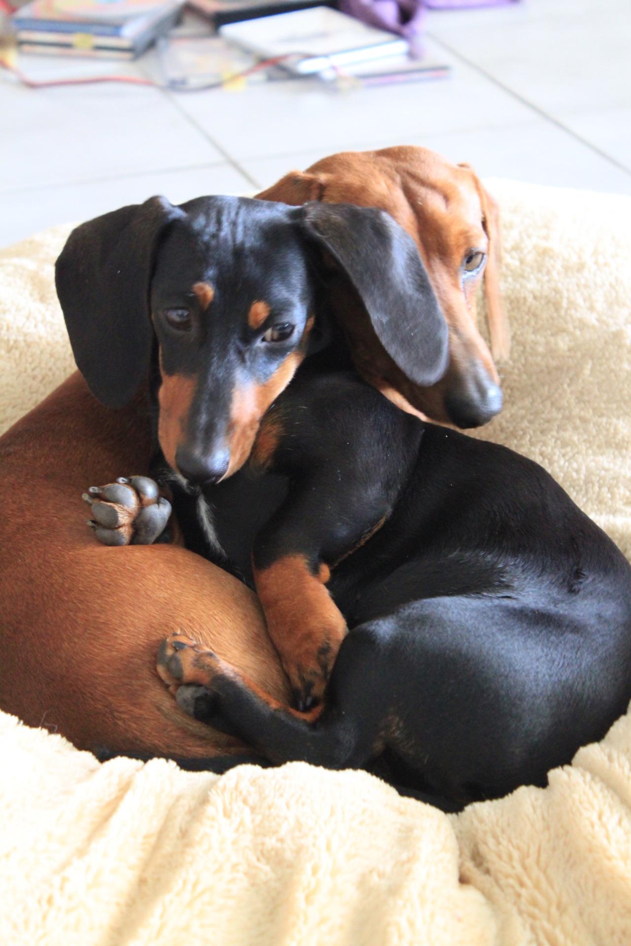 I Love Dachshunds Dachshund love | PinPo...