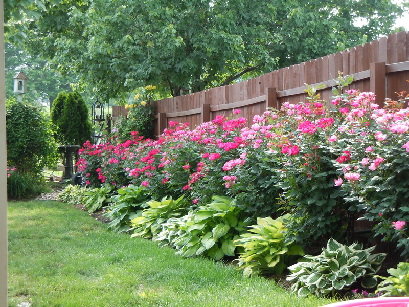 Knockout roses and hostas planted along fence // Great Gardens & Ideas ...