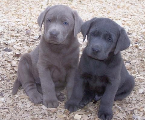 Silver  Puppies on Puppies  Silver And Charcoal Labs   Most Popular Pins
