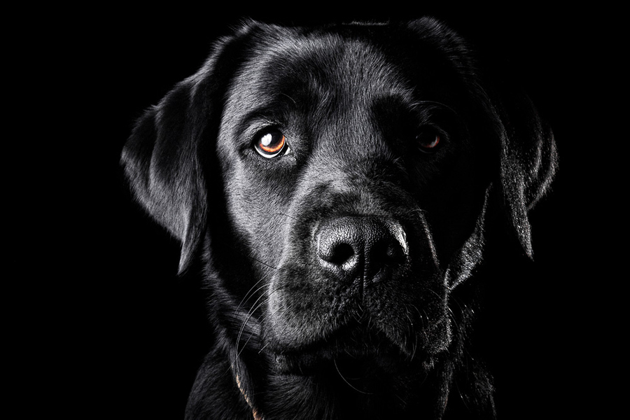 Black dog on a black background advice of lighting needed talk black dog on a black background advice of lighting needed talk photography voltagebd Gallery