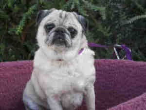 Angie is an adoptable Pug Dog in San Diego, CA.  Description: Meet our adorable