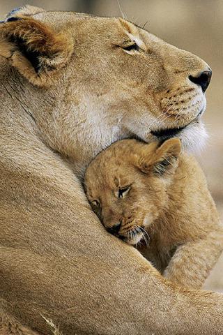 Lioness & Cub loves…