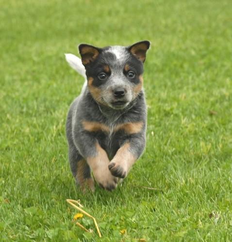 Australian Cattle Dog pup