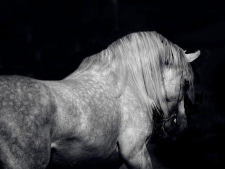 Arabian Horse – cavalo, horse