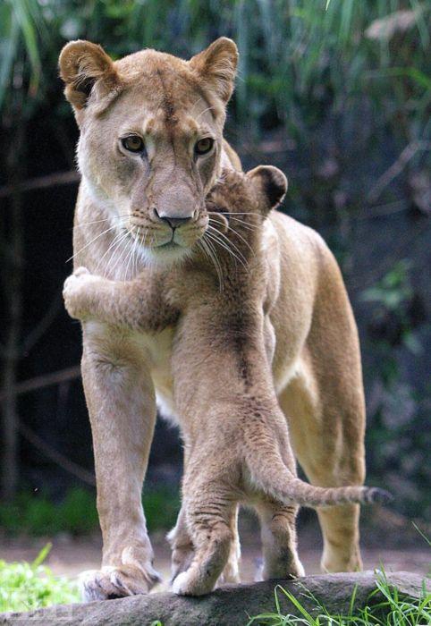 cat lion cub Lion Cub