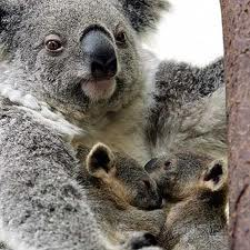 Koala Twins!!! and proud Momma ♥ ♥