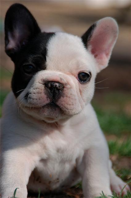 french bulldog. (: