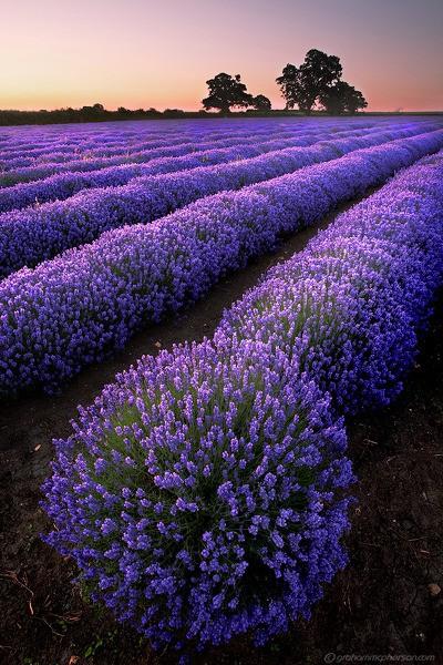 Lavender fields, France