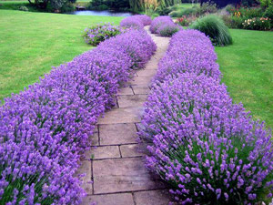 Lavender Hidcote – This easy-to-grow sun perennial thrives in full sun  normal g