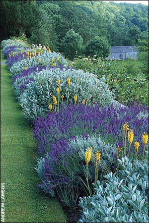 The yellow spikes of the  Red Hot Poker (Kniphofia), Lavender Cotton (Santolina)