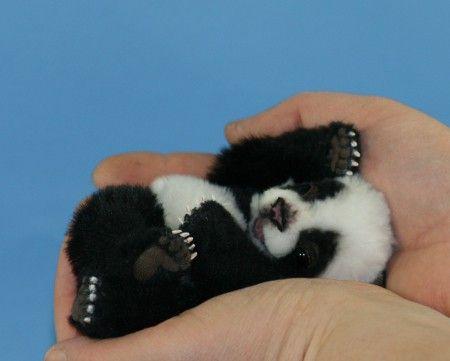 panda baby :]