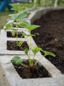 strawberries in cinder blocks & check out her incredible garden plan too. In