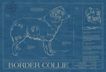 Border Collie blueprint