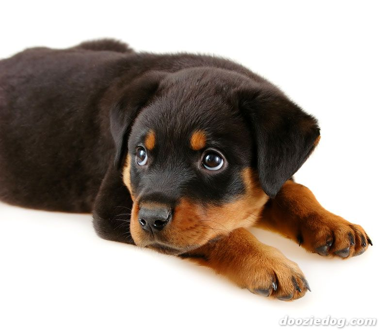 rottweiler dog names - 800×692