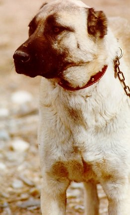 This young female Kangal Dog with her cropped ears and her distant stare is a cl