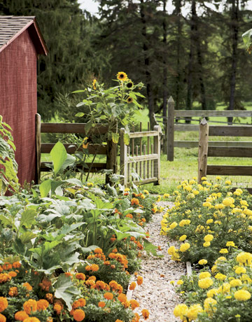 Marigolds Serve As Natural Pest Deterrents In A Vegetable Garden Pinpoint