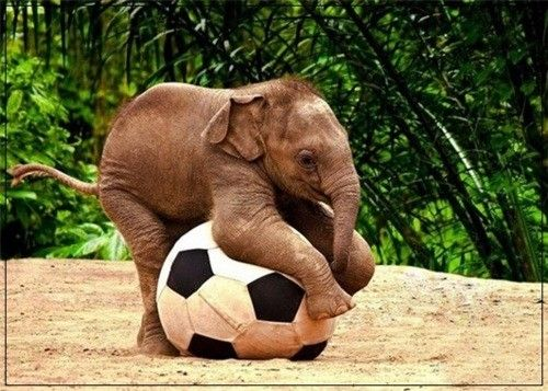 Baby elephant playing with a soccer ball