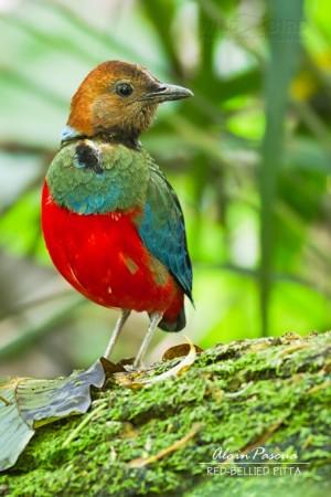 Red-Bellied Pitta (Pitta erythrogaster)