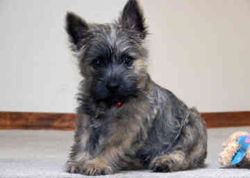 Cairn Terriers…this dog is the beloved Toto.