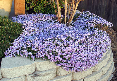 Trailing Rosemary produces beautiful blue foliage. It requires little water, and