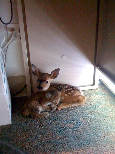 After a forest fire -these two snuggled up together in an office. Bobcat and faw