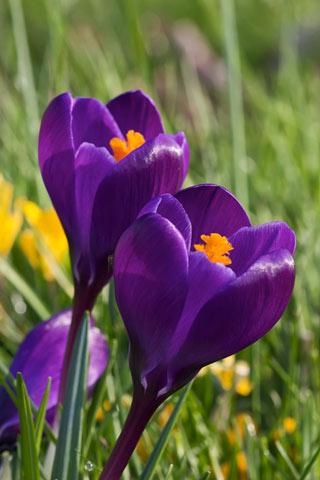 Dark purple crocus