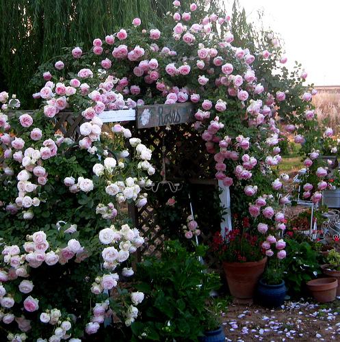 roses. roses. roses.