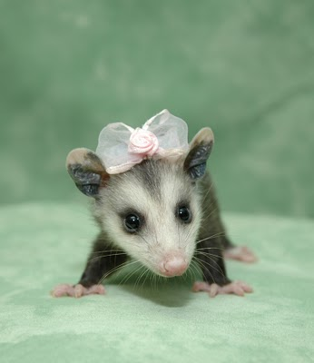 possums are cute.