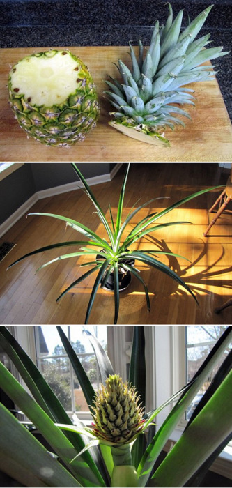 Did you know that you can simply plant the top of a pineapple in a pot and grow