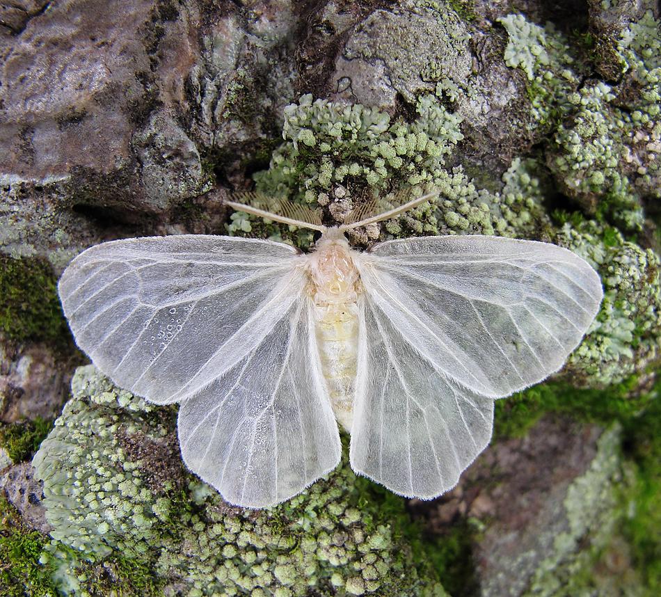 Beautiful translucent white moth.