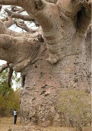 """✯ Boabab – Also known as the """"tree of life"""", Baobab trees, foun"""
