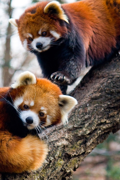 Red Pandas are hands down the most awesome creature on earth. I will LITERALLY f