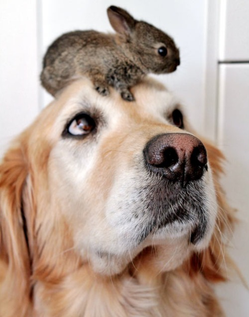A Retriever has become surrogate mother to two baby rabbits. Six-year-old Koa ha