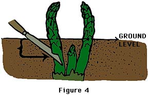Gardening Asparagus Growing Guide for – How to