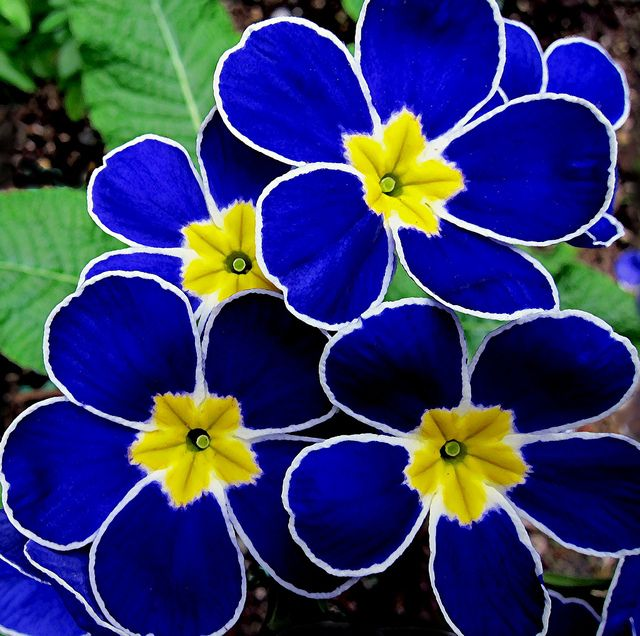 Cobalt Blue ~ Propellers, another of my new polyanthus.  Beautiful!!