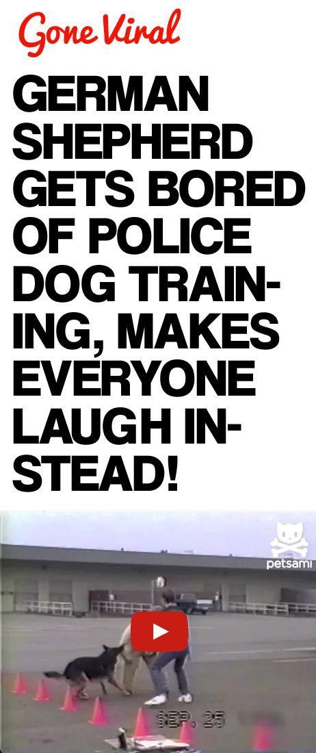 German Shepherd Gets Bored of Police Dog Training