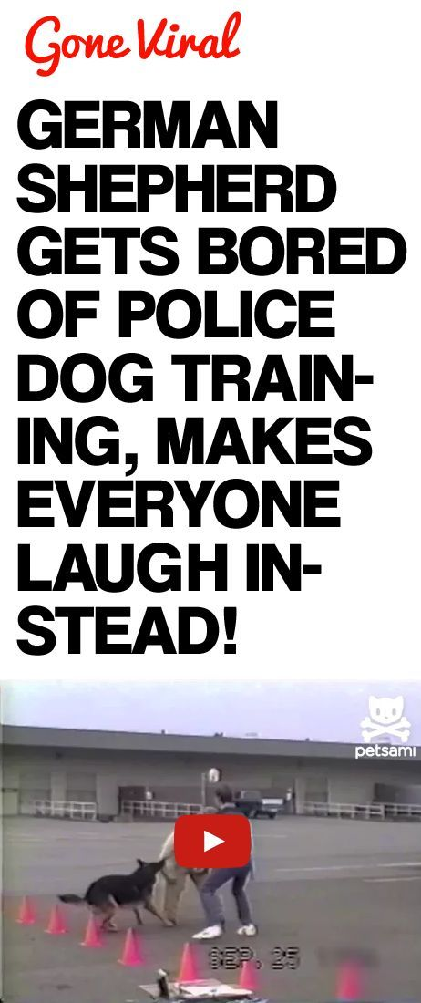 German Shepherd Gets Bored of Police Dog Training