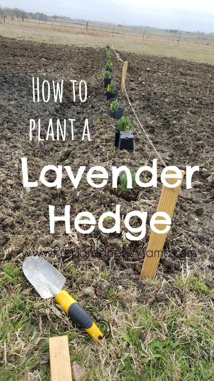 Planting a Lavender Hedge -   24 flower garden crafts ideas