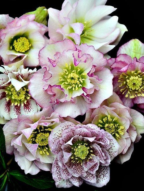 Helleborus 'Flower Girl' - 4.5 Inch Container -   24 flower garden crafts ideas